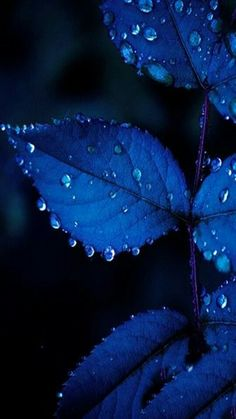 The color of these leaves is a beautiful royal blue color. The light hitting it makes it have different values of royal blue. The hue is greater where the light hits the leaves. Everything Is Blue, Fotografia Macro, Aesthetic Colors, Blue Aesthetic Dark, Nature Aesthetic, Blue Leaves, Love Blue, Color Blue, Black And Blue