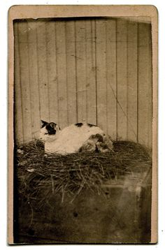 A CAT WITH A BROOD OF CHICKENS. Photographed from Nature by H. A. Ball, Excelsior, Minn. Carte de visite c.1870