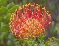 Leptospermum | Flickr - Photo Sharing!