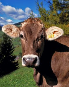 Sweetest cows ever are Brown Swiss!