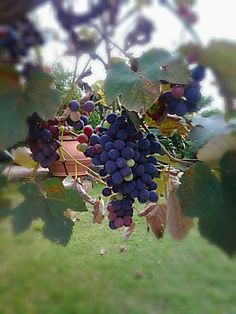 Grapes time to harvest #wine #maremma