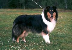 rough coated tri-color collie
