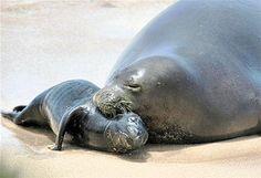 Hawaiin monk seal