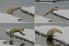 Un oso polar salta entre los hielos flotantes del Ártico para no mojarse.