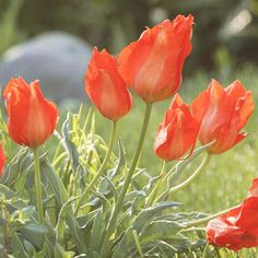 Showstopper Fusilier is a great way to add bright color to your garden!