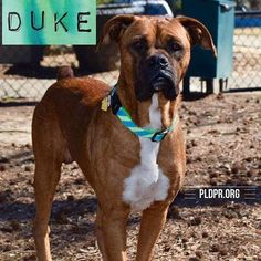 Meet Duke, an adoptable Boxer looking for a forever home. If you're looking for a new pet to adopt or want information on how to get involved with adoptable pets, Petfinder.com is a great resource.