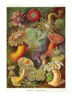 Ernst Haeckel, Actiniae