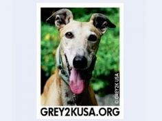 USA Greyhound Rescue Organization - Help an Animal Charity