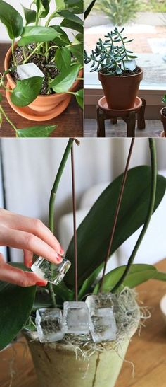 The life changing indoor plant tip - House Plants - ideas of House Plants - Fancy making sure that the next plant you buy will last you for a long time? Just swap from regular watering to ice cube watering.