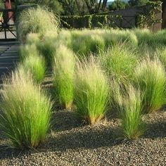 50+ Mexican Feather Grass Seeds , Under The Sun Seeds