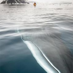 "a minke whale passes under…. girlpacific: "" awkwardsituationist: "" a minke whale passes under andrew peacock's kayak in neko harbour in the antarctic peninsula "" Oh my goodness! Minke Whale, Humpback Whale, Orcas, Whale Pictures, Funny Pictures, Random Pictures, Amazing Pictures, Funny Images, Funny Pics"