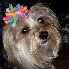 """Piper is one of the first pups to wear our """"Fanciful Explosion"""" bow"""