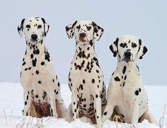 Cachorro Dálmata: descubra como é este animal, suas características físicas, caráter, comportamento, etc. O Dálmata é uma das raças caninas mais populares e...