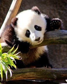 """Pandamonium"""
