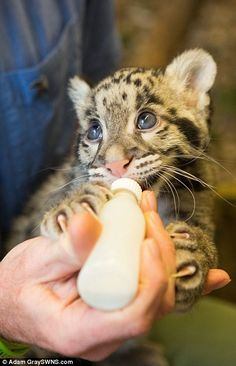 Nimbus the clouded leopard was reared at home by Jamie Craig with a helping hand from his daughter Niemi Craig. The animal is now being bottle-fed milk (pictured)