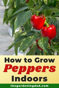 Learn how to grow peppers, one of the most popular vegetables indoors.  Tips include how to grow peppers from seed, in pots, indoors, along with tips on caring, harvesting, and uses!  #peppers #vegetables #gardening Growing Vegetables Indoors, Healthy Fruits And Vegetables, Gardening For Beginners, Gardening Tips, Indoor Gardening, Growing Peppers, Eco Friendly House, Natural Garden, Grow Your Own Food