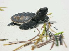 Hatchling sea turtle