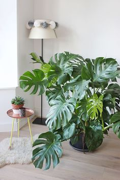 Monstera Deliciosa – A Split Leaf Philodendron needs medium to bright light. A Monstera deliciosa can survive in lower light, but the leaves won't split and the plant becomes leggy. Keep a Split Leaf Philodendron out of the direct sun. Monstera Deliciosa, Faux Philodendron, Plantas Indoor, Decoration Plante, Green Decoration, Home Decoration, Plants Are Friends, Spider Plants, Apartments