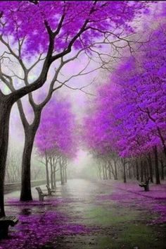 Purple Trees border the Lane