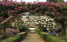 Image result for bougainvillea climbing on a tree