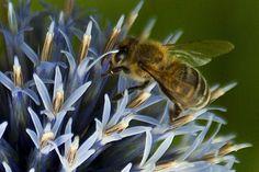 Según los científicos las abejas no deberían volar. Los cálculos realizados en física aerodinámica, basados en la proporción entre el tamaño de sus alas y su cuerpo, concluyen que su vuelo es imposible