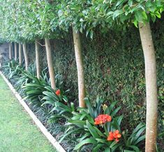 Clivia provide winter colour and Ficus pimula covers fences behind pleached trees Backyard Pool Landscaping, Small Backyard Gardens, Backyard Garden Design, Tropical Landscaping, Back Gardens, Tropical Garden, Outdoor Gardens, Landscaping Ideas, Hydrangea Landscaping
