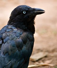 CROWS    What Makes Them Smart: Don't cross a crow; they are slick birds. Crows and jays know how to use tools, play games, and have been recorded pulling tricks on each other. The birds have a complex dialect that varies based on  population.