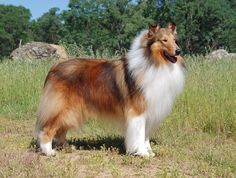 A Shiba Inu's Golden Coat Color Evolved in a Canid Ancestor 2 Million Years Ago Merle Australian Shepherd, Irish Terrier, Black Pigment, Mountain Dogs, Dog Coats, Shiba Inu, Dog Pictures, Mammals, Dog Breeds