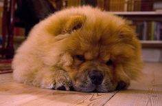 chow chow | Chow Chow | Flickr - Photo Sharing!