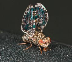 Peacock Fly, You Are the Apple of My Eye | Featured Creature