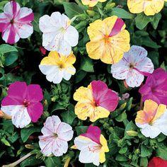 Park Seed Broken Colors Four-O'Clock Flower Seeds Flowers, Pretty Flowers, Flower Seeds, My Flower, Plants, Japanese Beetles, Growing Raspberries, Pansies, Seasonal Garden