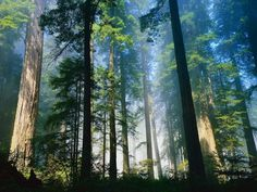 Redwood Forest, CA
