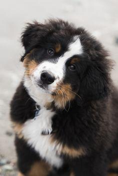 Bernese Mountain Puppy ©Nunn Other Photography   on location dog photographer, beach dog, Berner