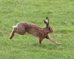 A Paper Chase was a racing game popular in the Victorian era recreating a hare and hounds hunt with bits of paper left as a trail. Rabbit Run, Jack Rabbit, Rabbit Food, Prey Animals, Bambi And Thumper, Rabbit Drawing, Farm Art, Bunny Tail, Drawing Base