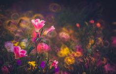 https://flic.kr/p/PghrdG | Godetia - wildflower | Minolta RF ROKKOR-X 250mm f5.6