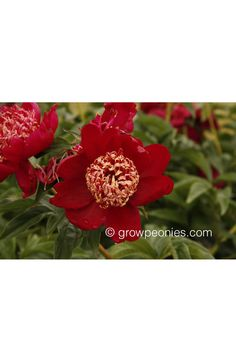 Nippon Beauty Peony — Countryside Gardens, Inc. Buy Peonies, Gold Tips, Red Flowers, Peony, Countryside, Bloom, Gardens, Beauty, Peony Flower