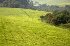 See the tea plantations - TOP things to do in Uganda