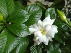 Countdown to Spring Day 54 flower: Gardenia! HGTV Gardens - 5 Ways to Kill a Gardenia - Avoid these garden blunders to keep this Southern favorite blooming House Plants, Gardenia Plant, Planting Flowers, Gardenia Care, Plants, Shrubs, Growing Gardenias, Fragrant Flowers, Hgtv Garden