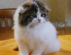 スコティッシュフォールド親猫 トロ