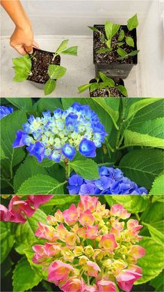Propagate Hydrangea cuttings in 2 easy steps and multiply your favorite beautiful Hydrangea plants for free! Plus a FAIL PROOF propagation secret! - A Piece of Rainbow