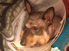 2/24/15 Vancouver WA: Please help Bear with the cost of his medical care and surgery. Bear and another dog had a serious disagreement and unfortunately he recieved the worst of the encounter. Bear went immediately into Critical Care and spent the night in the oxygen tank, he is on IV fluids, his brain is swollen and he...