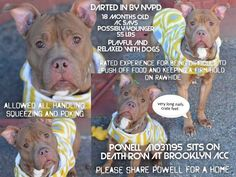 *****TO BE KILLED 4/4/15**** Poor pup Powell, so young, already so worried. If only he can tell us what his life was like before he was found by NYPD who darted him to catch him. His pics tell us that this pup is hardly walked because his nails are overly long, and his paws look like he's been caged. What was he doing as a stray then? Was he let loose by his owner because they cannot keep him anymore? Powell DID GREAT IN HIS BEHAVIOR EVALUATION. He allowed all handling, squeezing and poking…