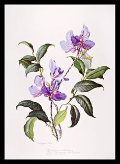 Margaret Ursula Mee, MBE was a British botanical artist who specialized in plants from the Brazilian Amazon rainforest. Description from pinterest.com. I searched for this on bing.com/images