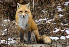 Red Fox by Sarah Furchner on 500px