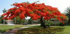 """Poinciana Trees that grow in Florida - my all time favorite for beautiful blooms ... my early memories of walking barefoot through thousands of fallen blossoms on the sidewalk across the street.. also the white """"orchid tree"""" petals, the """"night blooming cereus"""" our neighbor had...  (Miami - early 1950's S.W. 14th St. & 30th Ave.)"""