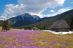 Chocholowska Valley. Tatra, Poland This is half a day trip, an easy one, with 225 metres of altitude difference. A walk along the longest valley in the Polish Tatra mountains. One of the biggest attractions in the months of April and May are crocuses all covering the Chochołowska.