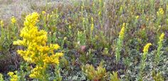 Goldenrods are a symbol of September on Nantucket, its golden month.  Here are lots of ideas for enjoying nature at the best month of the year.