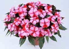 Недотрога, вечноцвет, огонек, цветок Ванька мокрый – все это названия одно растения, которое достаточно часто встречается в наших квартирах. Родина этого симпатичного цветка – тропическая Азия и Африк...