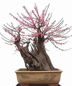 No link just pic of Bondi tree Bonsai Art, Bonsai Plants, Bonsai Garden, Succulents Garden, Air Plants, Cactus Plants, Mini Plantas, Japanese Bonsai Tree, Plantas Bonsai