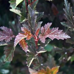 Physocarpus opulifolius 'Mindia' (Coppertina™ Ninebark)